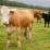 Bovine pentru carne si lapte