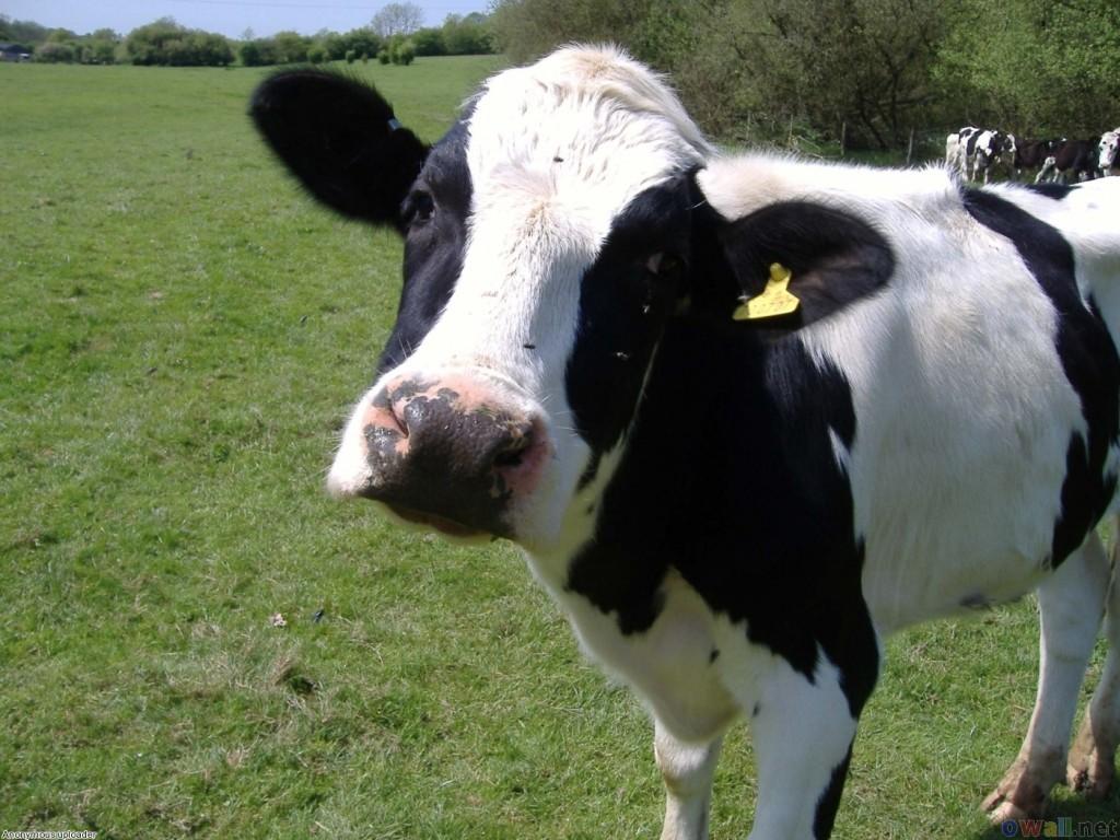 vaci Holstein