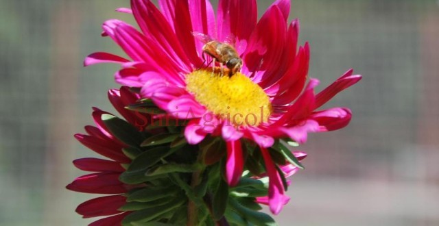 Trei tipuri de pesticide, mortale pentru albine si daunatoare pentru sanatatea consumatorilor de miere vor fi interzise de la 1 decembrie 2013