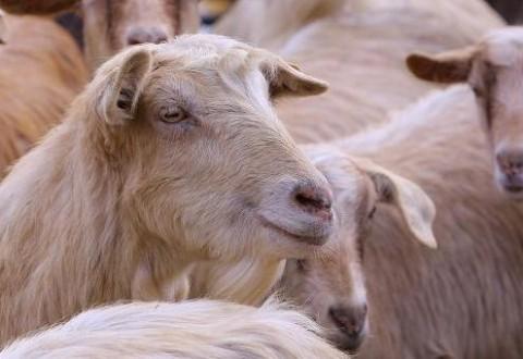 Exporturile de oi ar putea fi reluate din septembrie