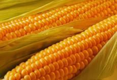 Monsanto susţine că culturile modificate genetic sunt necesare pentru a creşte producţia mondială de alimente în condiţiile creşterii populaţiei.