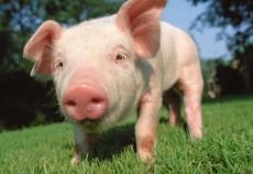 Din 2009, Moscova a alocat 2 miliarde de dolari pentru sprijinirea crescatorilor de porci