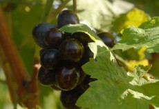 10 state produc 80% din vinul comercializat in intreaga lume