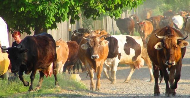 Livrarea de lapte crud pe teritoriul României trebuie să facă obiectul unui contract scris între producători și primii cumpărători. Durata minimă a contractului este de 6 luni.