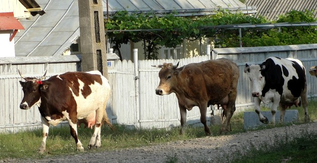 Începând cu 1 ianuarie 2014 este interzisă livrarea către centrele de colectare sau către unităţile de procesare, precum şi comercializarea laptelui crud care nu respectă cerinţele legislaţiei Uniunii Europene.