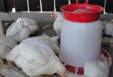 Numărul total al păsărilor sacrificate a crescut cu 6,6%, până la 20,24 milioane capete, în aprilie, arată datele publicate de Institutul Național de Statistică (INS).