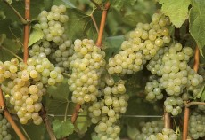 program viticol 2014-2020
