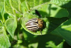 Insecticide împotriva gândacului de Colorado