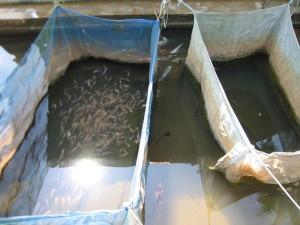 Clima României este propice afacerilor cu pește