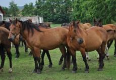 Rasa Semigreu Românesc este o rasă relativ tânără, care a fost creată pentru a ajuta agricultorii și pentru a face transporturi grele.