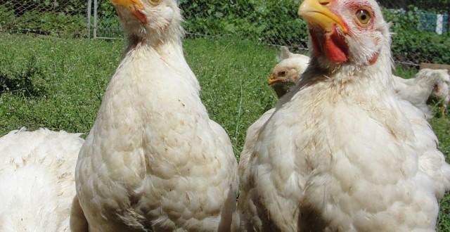 În luna mai a acestui an, comparativ cu același interval din 2012, numărul total al păsărilor sacrificate şi greutatea în carcasă a acestora au crescut cu 11,9%, respectiv cu 8,9%, potrivit datelor publicate de Institutul Național de Statistică (INS).