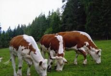 """Producătorii de lapte și de carne din zonele defavorizate mai pot depune, până cel târziu pe 15 iulie 2013,  cererile de plată aferente anului 2013, în cadrul """"Schemei de ajutor specific acordat producătorilor de lapte şi de carne de vită din zonele defavorizate"""", finanţată din Fondul European de Garantare Agricolă (FEGA), reamintește Agenţia de Plăţi şi Intervenţie pentru Agricultură (APIA)."""