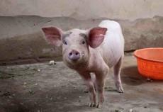 Creşterea porcilor pentru carne poate fi o afacere de succes, dacă sunt îndeplinite câteva condiţii, cum ar fi asigurarea unei hrane care să contribuie la dezvoltarea efectivelor și menținerea curățeniei.