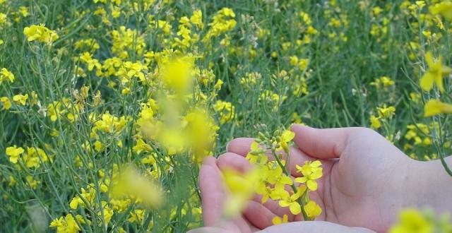 Calendrul cultivării rapiței impune mai multe etape de aplicare a ingrasamintelor