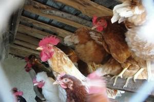 APIA emite, la cererea solicitantului, a treia confirmare scrisă – adeverința - prin care se atestă că acesta a depus cerere de ajutor pentru Măsura 215 - Plăţi privind bunăstarea animalelor și, de asemenea, este confirmată suma egală cu valoarea decontului justificativ aferent trimestrului III, depus de către solicitant in perioada 16 iulie -16 august 2013 pentru Măsura 215 - Plăţi privind bunăstarea animalelor - păsări.