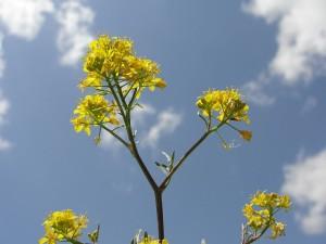 Piața semințelor de rapiță certificate se dezvoltă rapid.