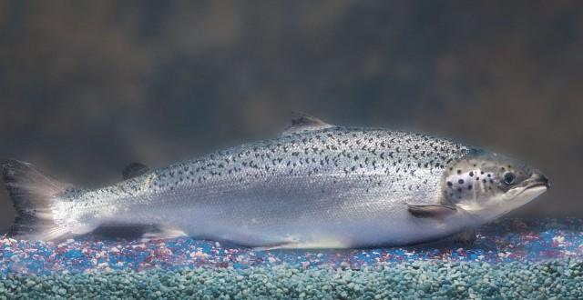 AquAdvantage Salmon