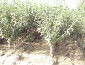 Vand-pomi-fructiferi