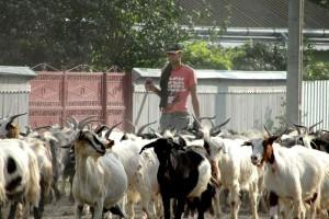 CEC Bank lansează Creditul APIA – Zootehnie (ovine/caprine), implementat în parteneriat cu Agenția de Plăți și Intervenție pentru Agricultură (APIA) și Fondul de Garantare a Creditului Rural (FGCR), în baza convențiilor privind finanțarea capitalului de lucru pentru desfășurarea activităților curente de către beneficiarii plăților naționale directe complementare în sectorul zootehnic la speciile ovine și caprine 2013.