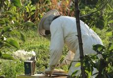 Fondurile alocate prin Programul Naţional Apicol 2011 – 2013, absorbite în procent de 100%. Pentru anul 2012-2013 apicultorii au beneficiat de sprijin financiar alocat prin Programul Național Apicol în cuantum de 29.173.293,48 lei.
