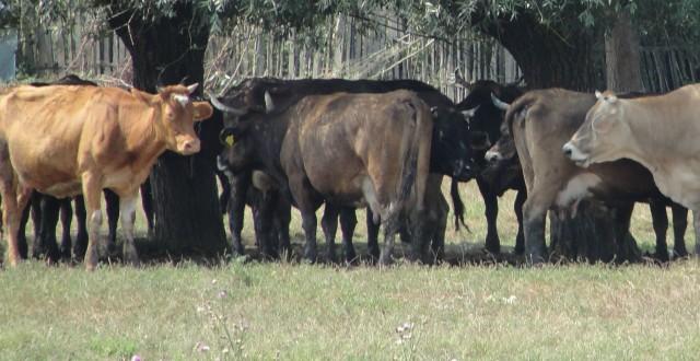 Cererile pentru subvențiile pentru vaci se pot depune în perioada 17 septembrie - 28 octombrie 2013