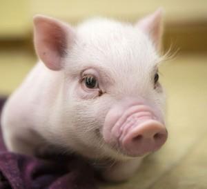 Agenția de Plăți și Intervenție pentru Agricultură (APIA) a încheiat convenții privind finanţarea capitalului de lucru pentru desfăşurarea activităţilor curente de către beneficiarii Măsurii 215 – Plăţi privind bunăstarea animalelor – porcine – anul II de angajament, sesiunea I de depunere.