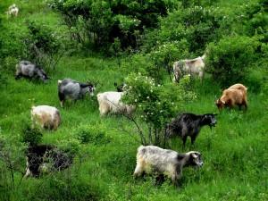 cresterea-caprelor