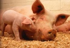 exporturi de carne de porc