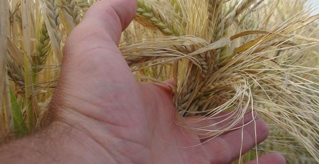 taxarea inversa la cereale