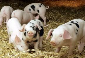sacrificari de porci