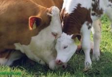cota de lapte