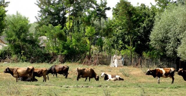 subventii-crescatori-vaci
