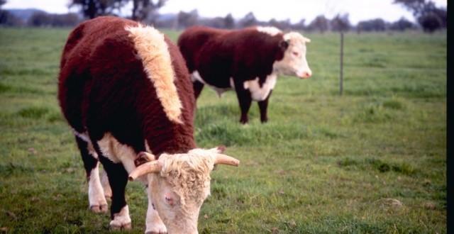 vite de carne