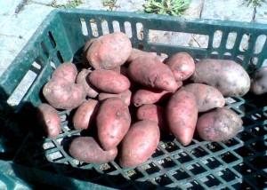 cartofi-bio