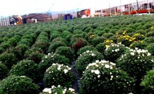 crizanteme-timpurii-crizanteme-tarzii