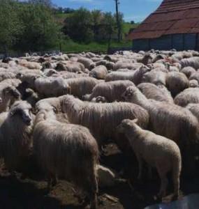 oi-turcane-si-berbeci-dorper