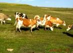 vaci-baltata-romaneasca