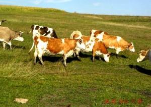 vaci-baltata-romaneasca1