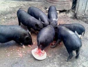 vand-porci-vietnamezi