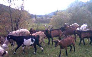 capre-alpina-franceza