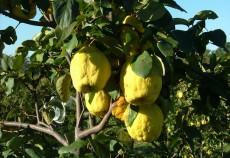 plantatia de gutui