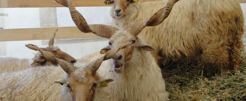 crescatori de oi