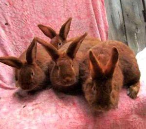 iepuri-neozeelandez-rosu