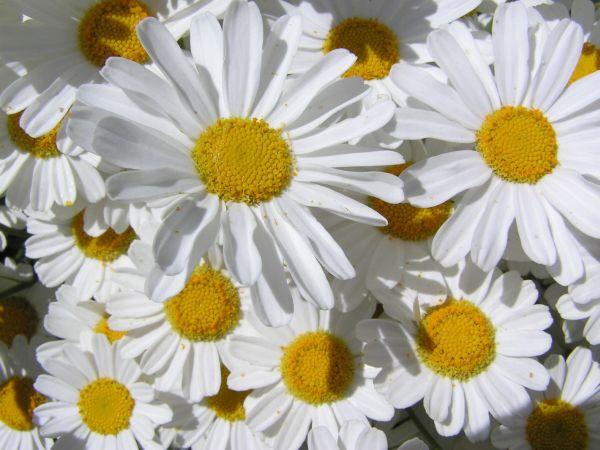 crizantema salbatica influorescenta