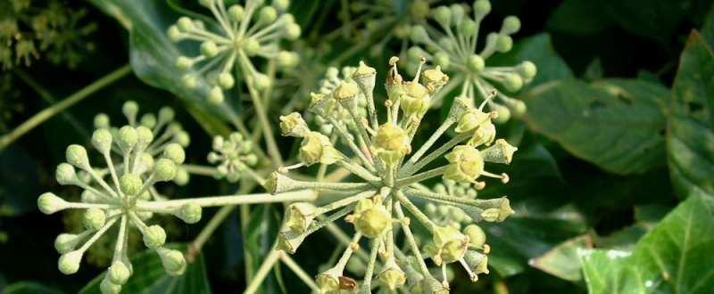 plante medicinale iedera