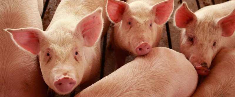 pndr ferma de porci