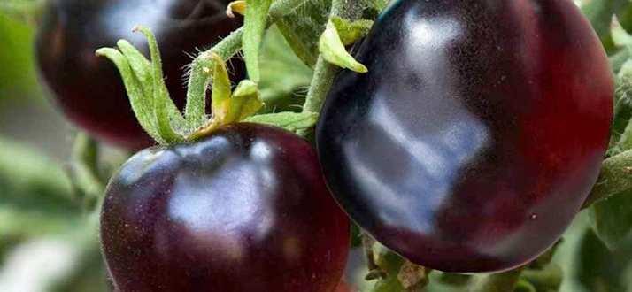 Indigo Rose tomate negre