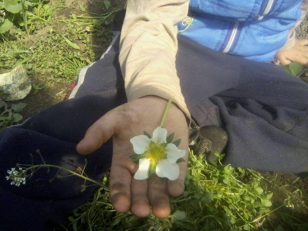 capsuni de polovragi floare