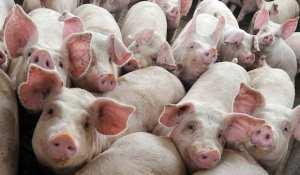 ferma-porci