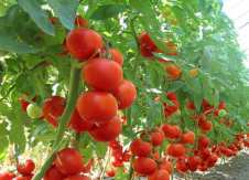 soiuri de tomate
